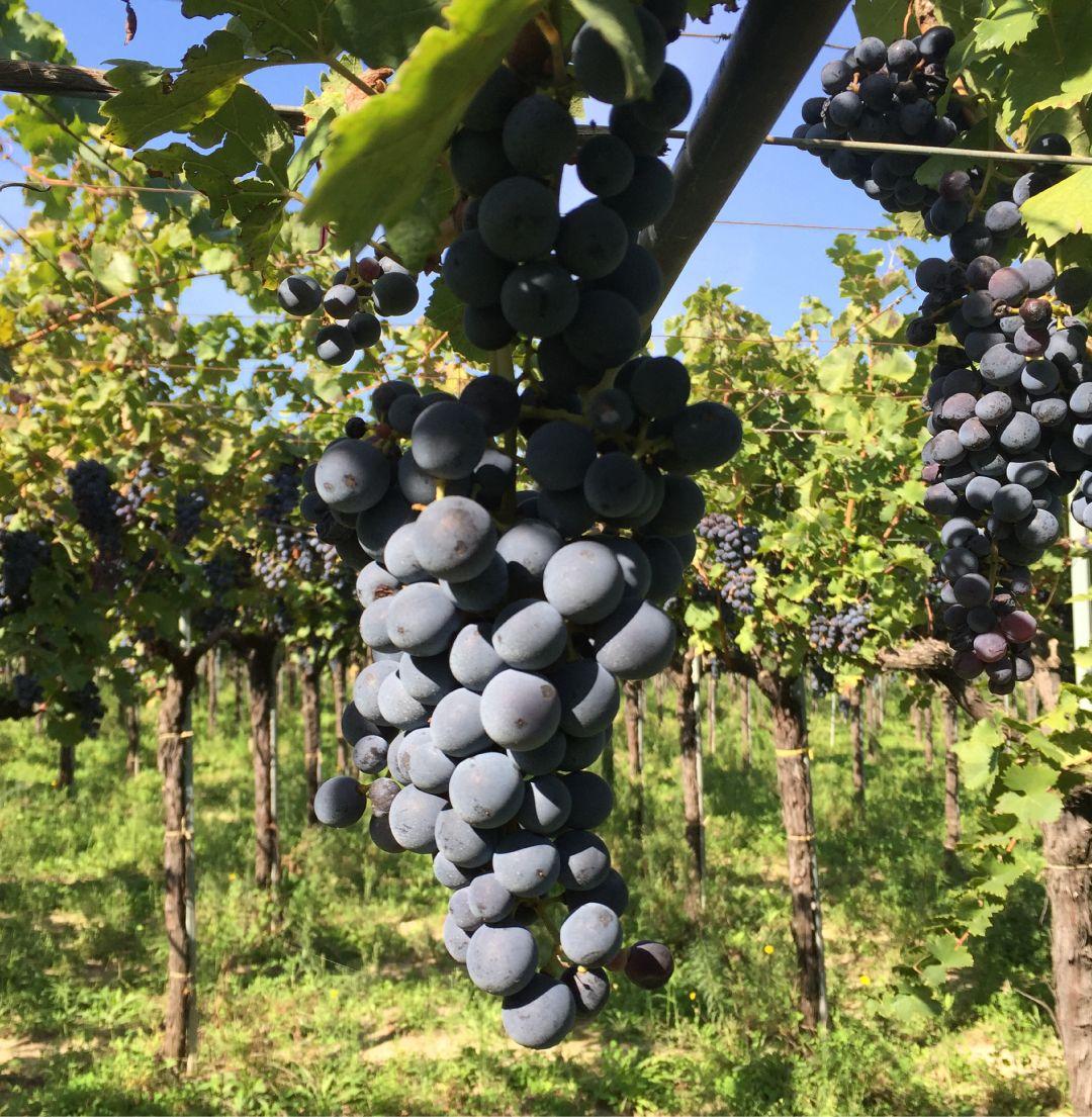 Grappolo di uva nera matura su ceppo