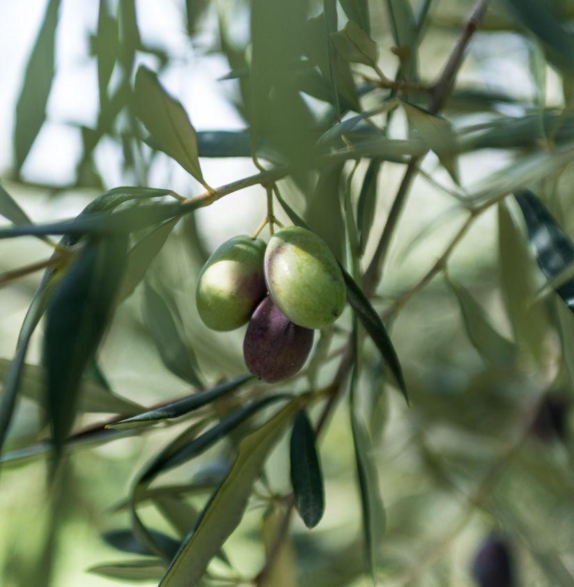 Olive verdi e nere Castel del Monte