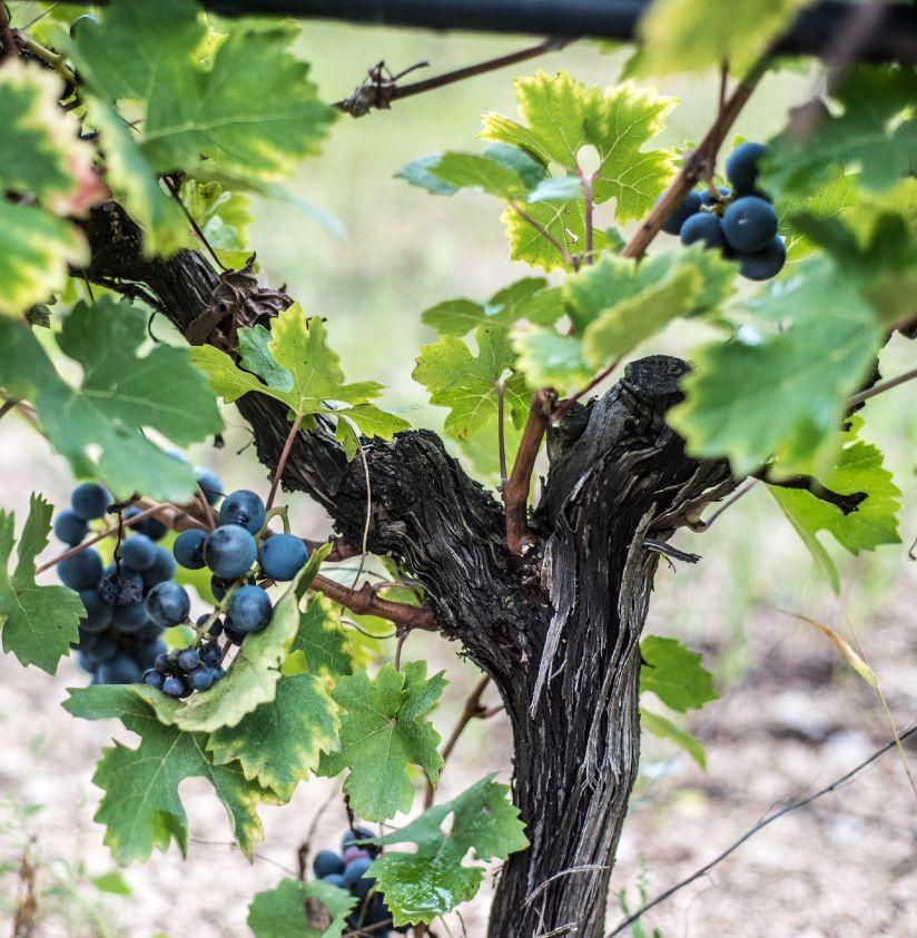 Ceppo di uva nera Castel del Monte Alberello Pugliese