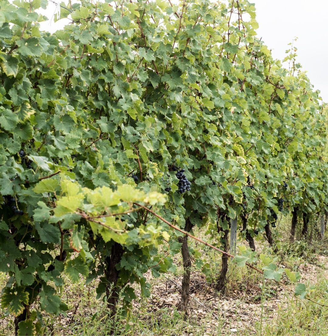 Spalliera uva nera Puglia Castel del Monte Andria